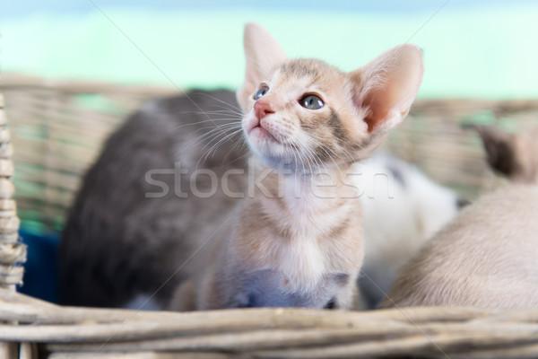 Foto stock: Pequeño · gatito · puro · raza · moderna · sesión