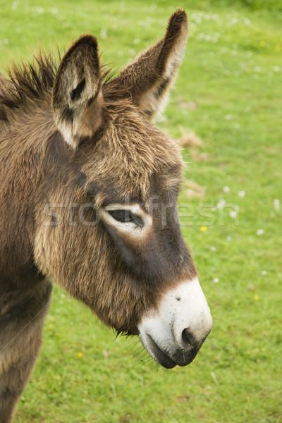 Marrom burro cabeça grama Foto stock © ivonnewierink