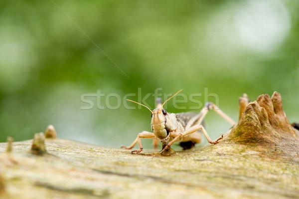 Cricket in nature Stock photo © ivonnewierink