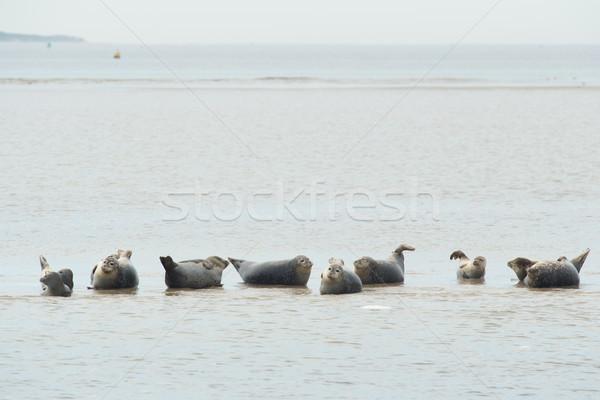 Seals in the Dutch wadden sea Stock photo © ivonnewierink