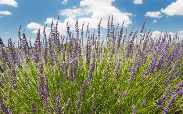 Lavender in the French Provence Stock photo © ivonnewierink