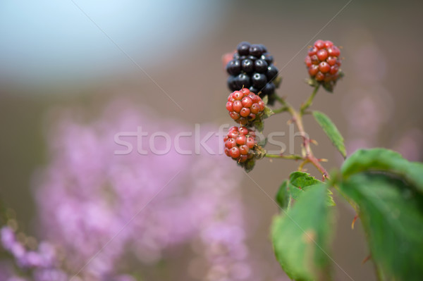 Bramble berries and heath Stock photo © ivonnewierink