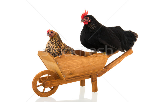Chickens on wheel barrow Stock photo © ivonnewierink