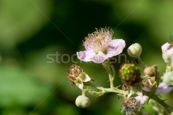 Flowers of blackberries Stock photo © ivonnewierink