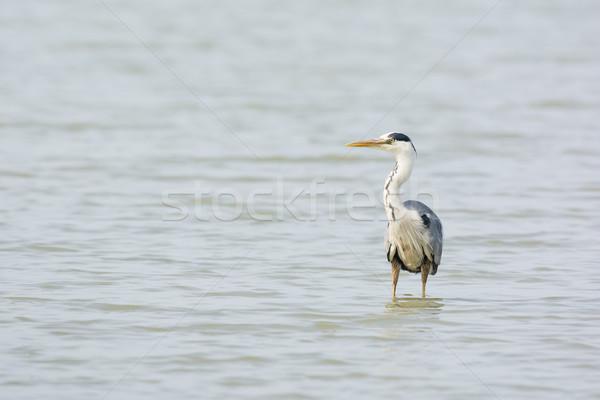 Muhteşem mavi balıkçıl su kuş Hollanda Stok fotoğraf © ivonnewierink
