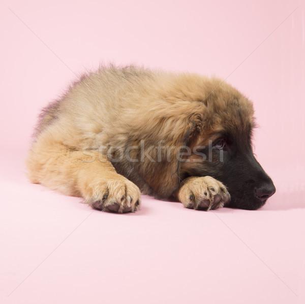 Puppy roze cute baby hond achtergrond Stockfoto © ivonnewierink