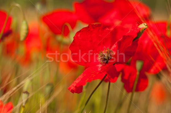 Vermelho grão campos flores agricultura Foto stock © ivonnewierink