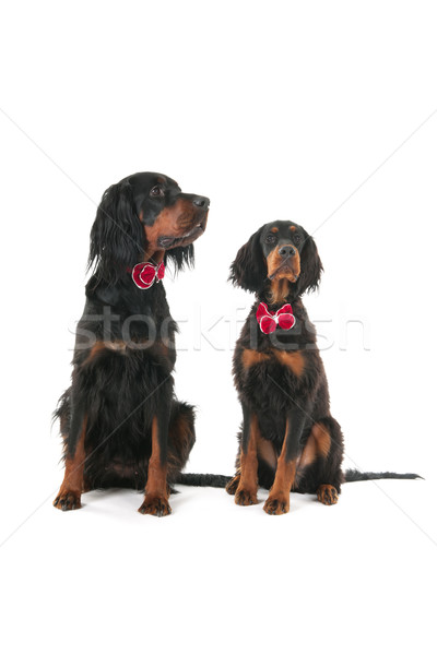 Dogs dressed for the party Stock photo © ivonnewierink