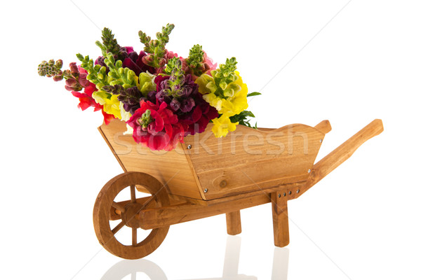 Dragon flowers in wheel barrow Stock photo © ivonnewierink