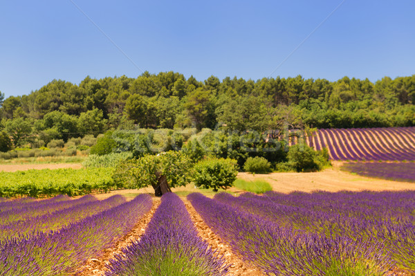 Landscape with lavender Stock photo © ivonnewierink