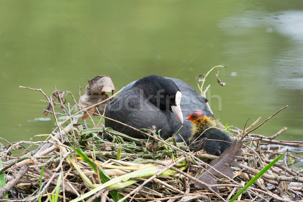 Eurasian coot with duckling Stock photo © ivonnewierink