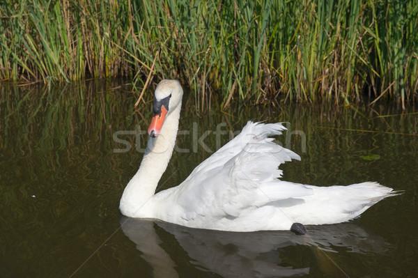 Mute swan in water Stock photo © ivonnewierink