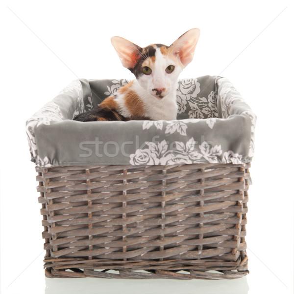 короткошерстная кошки корзины изолированный белый Сток-фото © ivonnewierink