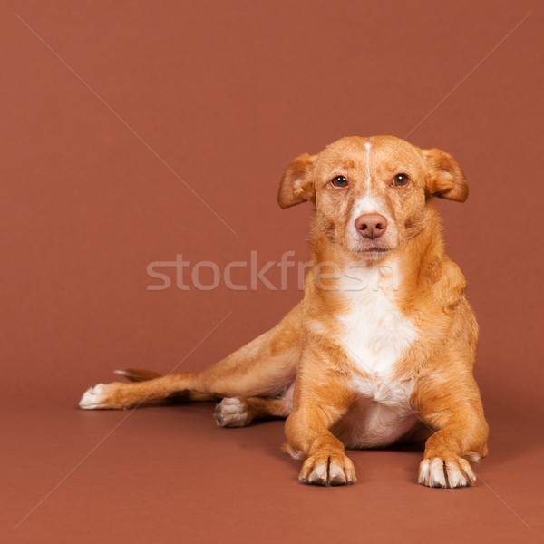 Andalusian hound Stock photo © ivonnewierink