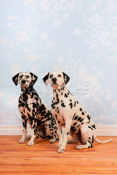 Dalmatian dogs sitting at the floor Stock photo © ivonnewierink