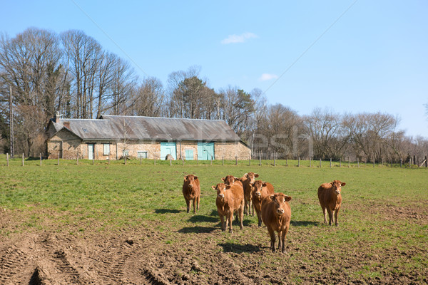 French Limousin cows Stock photo © ivonnewierink