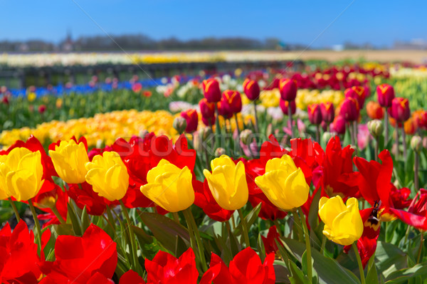 Dutch landscape with colorful tulips in the fields Stock photo © ivonnewierink