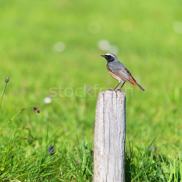 Common Redstart Stock photo © ivonnewierink