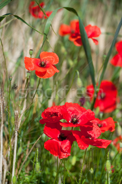 Red poppies Stock photo © ivonnewierink