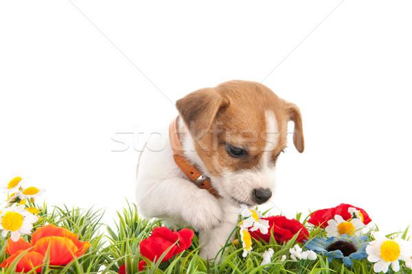 Jack Russel puppy in grass Stock photo © ivonnewierink