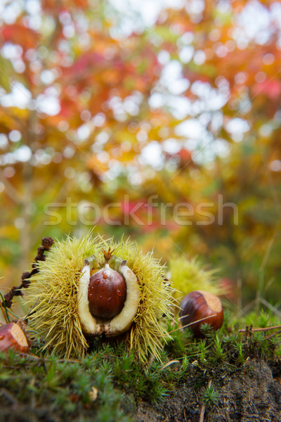 Chestnut in autumn forest Stock photo © ivonnewierink