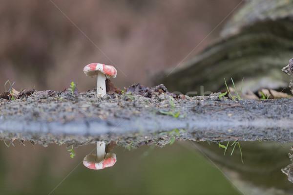 Fly agaric Stock photo © ivonnewierink