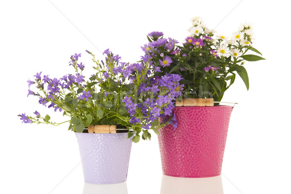 Campanula and daisies in flower pot Stock photo © ivonnewierink