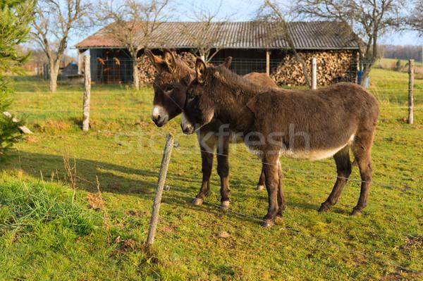 Casal ao ar livre animais cerca celeiro Foto stock © ivonnewierink