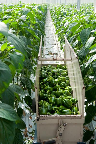 Harvest paprikas in greenhouse Stock photo © ivonnewierink