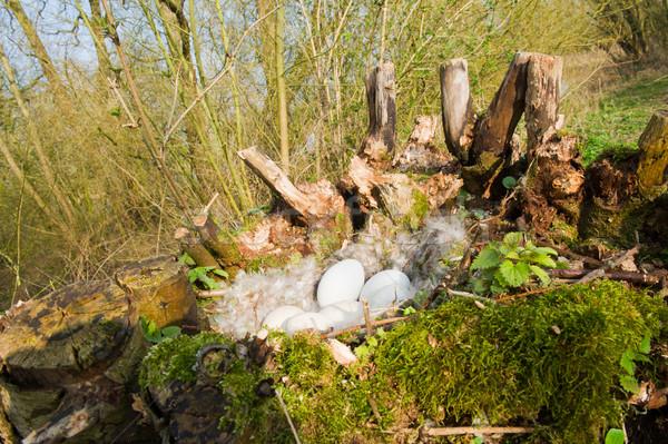 Gans nest wilg eieren veren boom Stockfoto © ivonnewierink