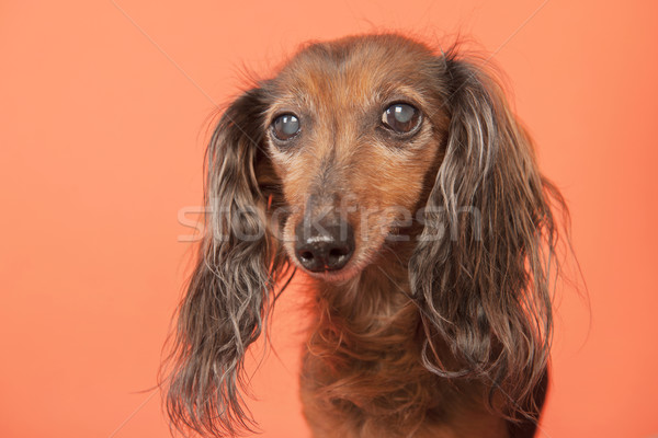 Dachshund on beige background Stock photo © ivonnewierink