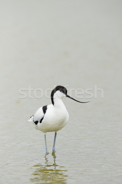 Pied Avocet wading in water Stock photo © ivonnewierink