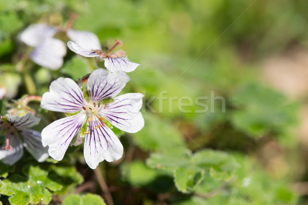 Geranium renardii white and blue Stock photo © ivonnewierink