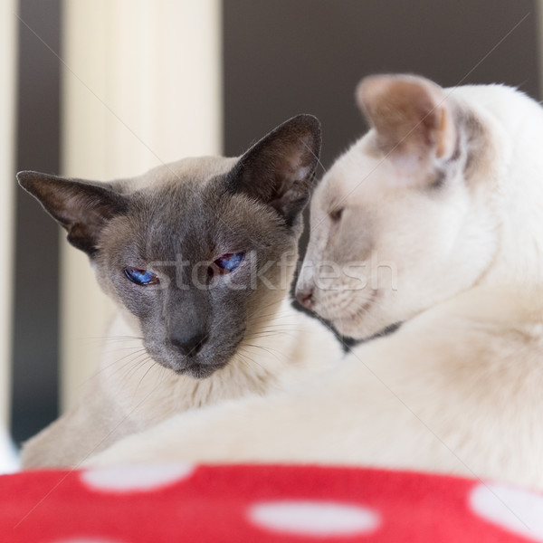 Blue and Lilac point siamese cats Stock photo © ivonnewierink