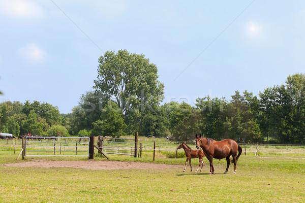 Ló csikó barna tájkép fű Stock fotó © ivonnewierink