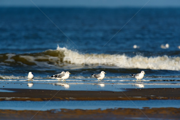 Black headed gulls in the sea Stock photo © ivonnewierink