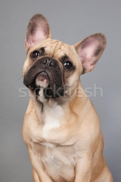 French bulldog Stock photo © ivonnewierink