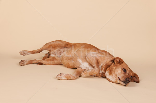 Cross breed dog laying at the floor Stock photo © ivonnewierink