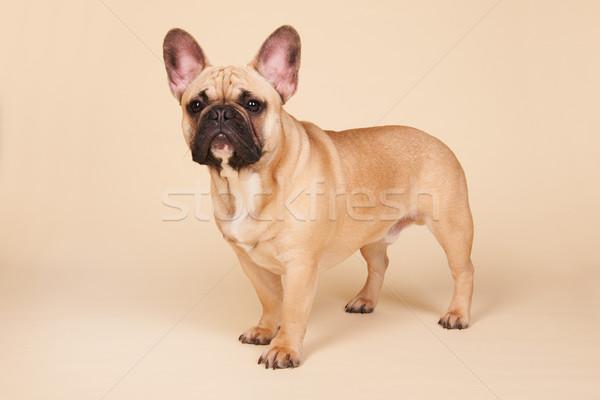 Stockfoto: Frans · bulldog · permanente · studio · Blauw · portret
