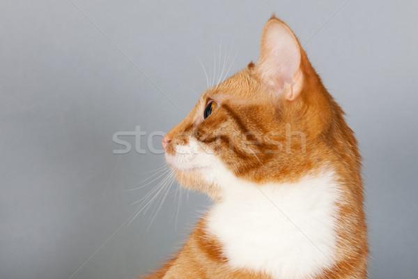 red tabby cat on gray background Stock photo © ivonnewierink