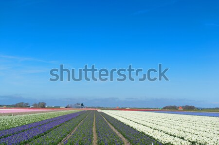 Flower fields with colorful hyacinths Stock photo © ivonnewierink