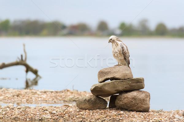 Urubu natureza água árvore pássaro Foto stock © ivonnewierink