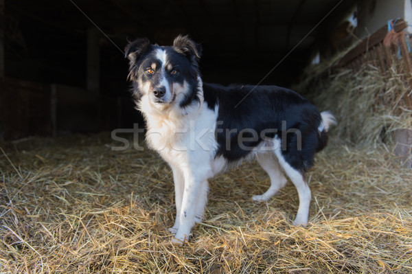 Juhászkutya kutya istálló áll keret Stock fotó © ivonnewierink