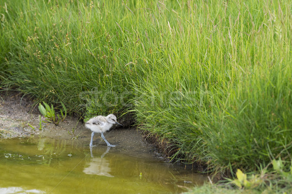 Pied Avocet baby chick Stock photo © ivonnewierink