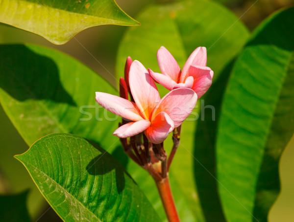 Stok fotoğraf: Pembe · çiçekler · güzel · nadir · çiçek · doğa