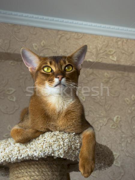 Kedi ağaç mobilya kırmızı siyah genç Stok fotoğraf © ivz