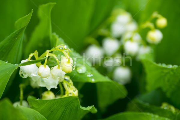 Zambak vadi bahar yaprak Stok fotoğraf © ivz
