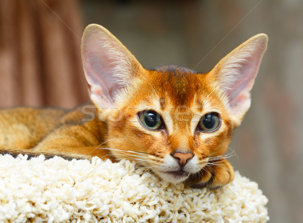 Kedi yavrusu genç kedi ağaç mobilya turuncu Stok fotoğraf © ivz