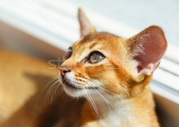 Kedi yavrusu genç kedi pencere güneş ışığı turuncu Stok fotoğraf © ivz