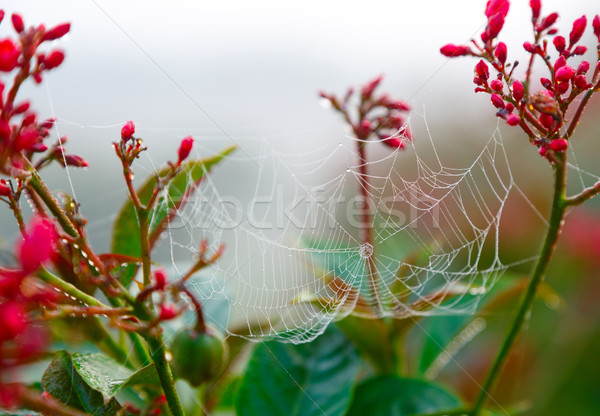 Dew on spider web Stock photo © ivz